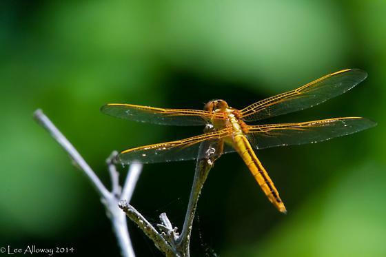 Skimmer - Libellula