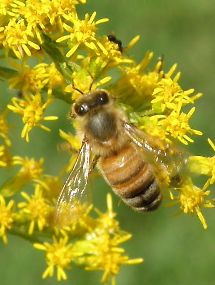 Unidentified Insect 102 - Apis mellifera