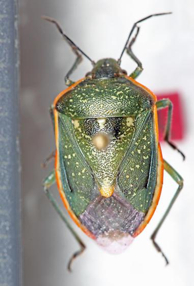 Pentatomidae - Chlorochroa sayi