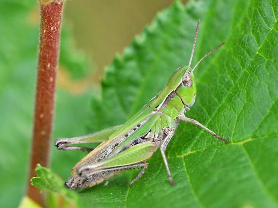 Colour variation 1 in New Brunswick (Slantfaced Pasture Grasshopper) - Orphulella speciosa - female