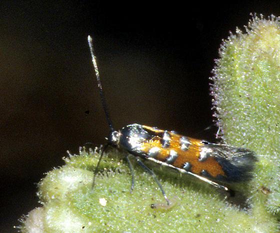 Heliodinidae, possibly Neoheliodines vernius? - Neoheliodines vernius