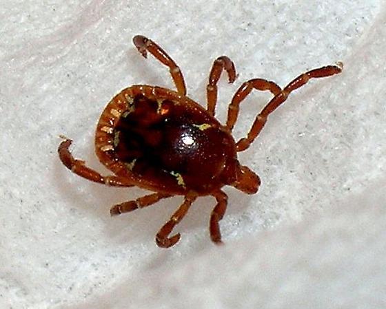 Lone Star Tick - Amblyomma americanum - male