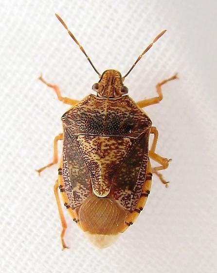 stinkbug - Podisus placidus