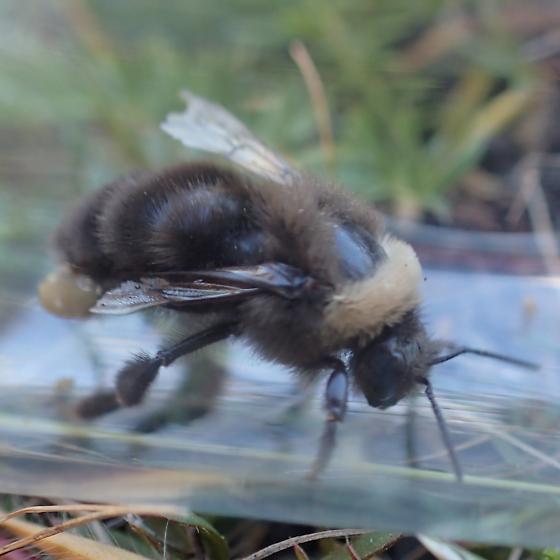 Western Bumble Bee?  - Bombus occidentalis - female
