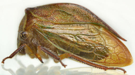 Stictocephala