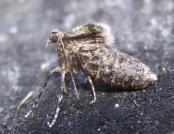 Operophtera brumata - female