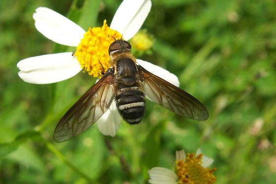 Syrphid fly, maybe? - Exoprosopa fasciata