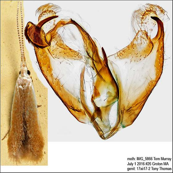 Pecan Cigar Casebearer - Coleophora laticornella - male