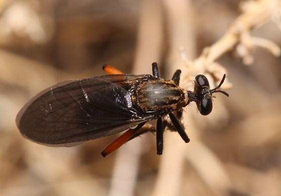 Robber Fly? - Saropogon purus - male