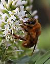 Hymenoptera-Colletidae-Zikanapis or Ptiloglossa ? - Ptiloglossa