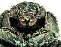 Trogidae, ventralX - Trox unistriatus