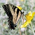 Butterfly - Papilio glaucus - male