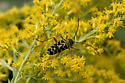 Black & Yellow Beetle - Megacyllene robiniae