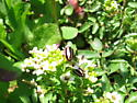 Striped Lady Beetle - Paranaemia vittigera