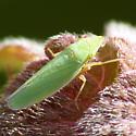 D. robinsoni? - Draeculacephala antica