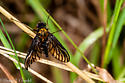 Gold-backed Snipe Fly - Chrysopilus thoracicus