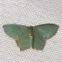Angle-winged Emerald Moth - Hodges #7075 - Chloropteryx tepperaria