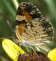 Unknown Crescent - Phyciodes phaon - male