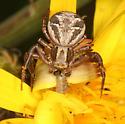crab spider with caterpillar prey - Xysticus cristatus - female