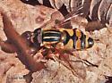 Parhelophilus ? - Helophilus fasciatus - male