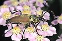 Flower Longhorn Beetle - Brachyleptura rubrica