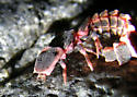 Pink Glowworm? - Microphotus angustus