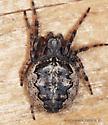 Araneidae ? - Larinioides patagiatus