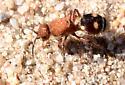 Four-spotted Velvet Ant - Dasymutilla quadriguttata - female
