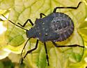 Rough Stink Bug - Brochymena sp. nymph - Halyomorpha halys