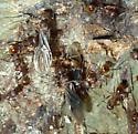 Aphaenogaster rudis or fulva - Aphaenogaster fulva - female