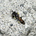 Crabro sp. Bee - Crabro - male