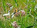 Two Tailed Swallowtail - Papilio multicaudatus - male