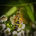 Thynnidae- Thynnid Wasp (Myzinum sp) ID please - Myzinum - female