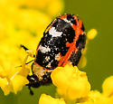 tiny black white and red beetle - Anthrenus scrophulariae