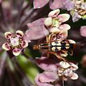 Longhorned beetle - Strangalia luteicornis