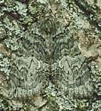 Hydriomena - Hydriomena transfigurata - female