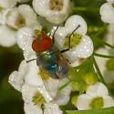 Diptera Q1, ID please - Chrysomya megacephala - male
