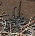 Carolina Wolf Spider - Hogna carolinensis? - Hogna carolinensis - female