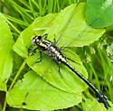 Midland clubtail - Gomphurus fraternus - male