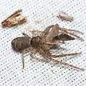Crab Spider - Tmarus
