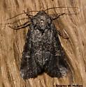 Noctuid - Lacinipolia rodora