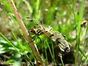 Pennant? - Celithemis elisa - female