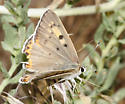 Great Copper - Lycaena xanthoides - female