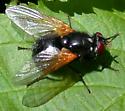 Orange-winged fly - Mesembrina latreillii