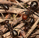 Large Ant Colony - Formica obscuripes
