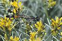 Thread-waisted Wasp - Ammophila