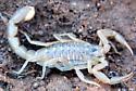 Estivating Scorpion - Paravaejovis spinigerus