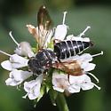 Rare Coelioxys  - Coelioxys obtusiventris - female