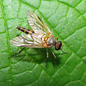 Snipe Fly - Rhagio hirtus - male