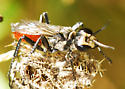Incredible Edible Wasp #2 -quite possibly Prionyx thomae  - Prionyx - female